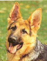 germansheperd.jpg